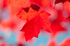 autumn red maple leaf